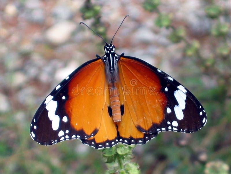 Reuze Vlinder Stock Afbeelding