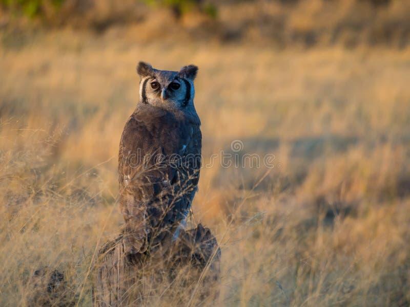 Reuzeadelaarsuil in middaglicht, Moremi NP, Botswana royalty-vrije stock afbeelding