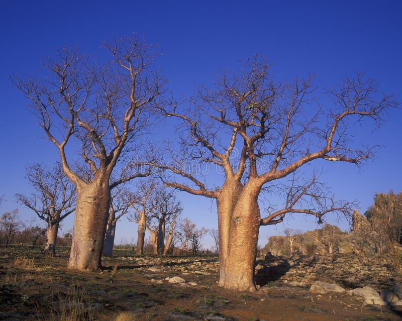 Reuzeboab-bomen royalty-vrije stock afbeeldingen