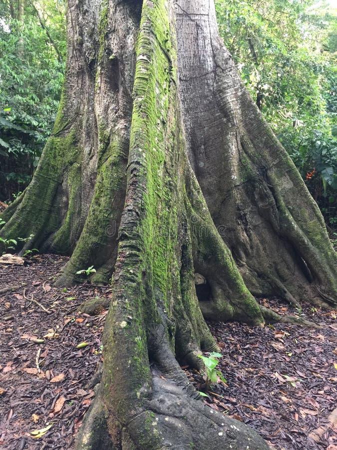 Reuzeboom van Frans-Guyana stock fotografie