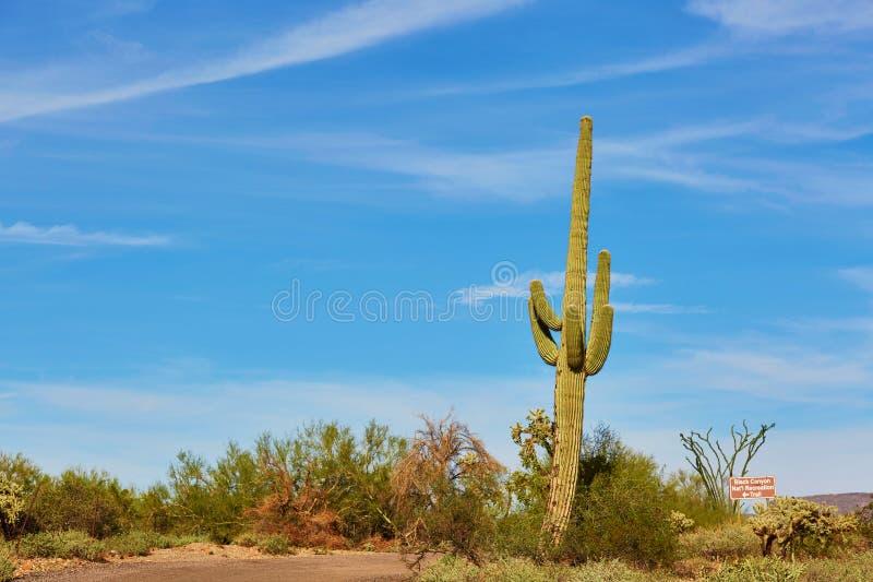 Reuzecactus in Arizona, de V.S. stock foto's