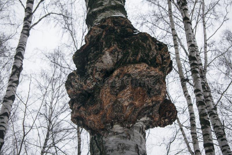 Reuzechaga van de paddestoelparasiet op de boomstam van een berk De medische paddestoel van de plankenpaddestoel Obliquus Inonotu stock foto's