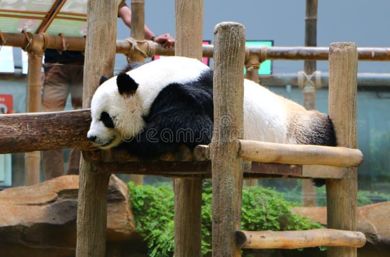 Reuzediemelanoleuca van pandaailuropoda, ook als panda wordt bekend draagt stock foto's