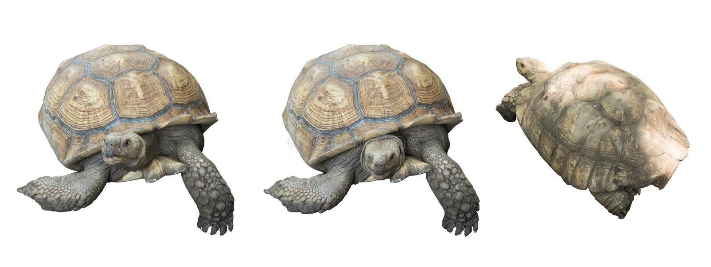 Reuzedieschildpad op witte achtergrond wordt geïsoleerd stock afbeelding