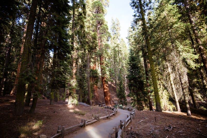 Reuzeforest sequoia national park royalty-vrije stock afbeelding