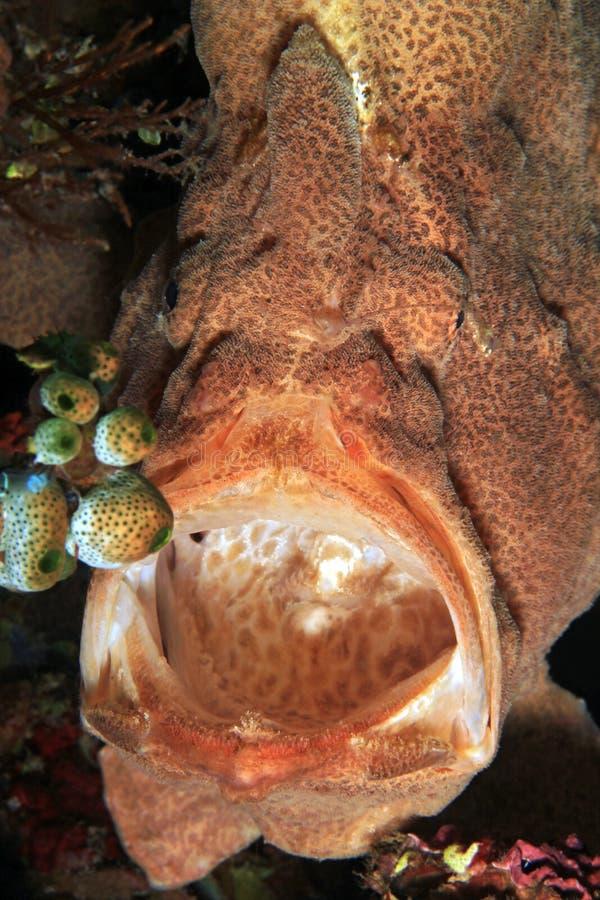 Reuzefrogfish met Open Mond stock foto