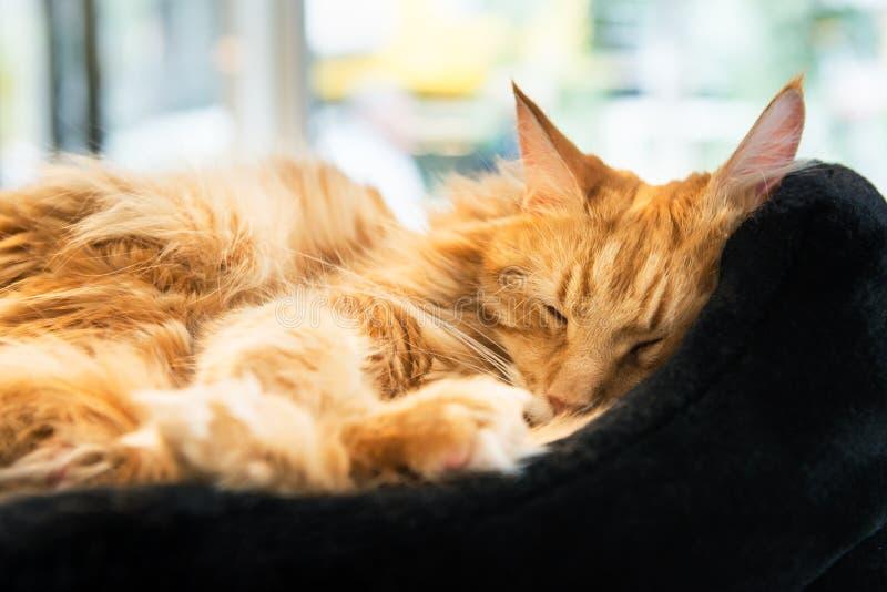 Reuzeginger maine coone cat royalty-vrije stock afbeeldingen