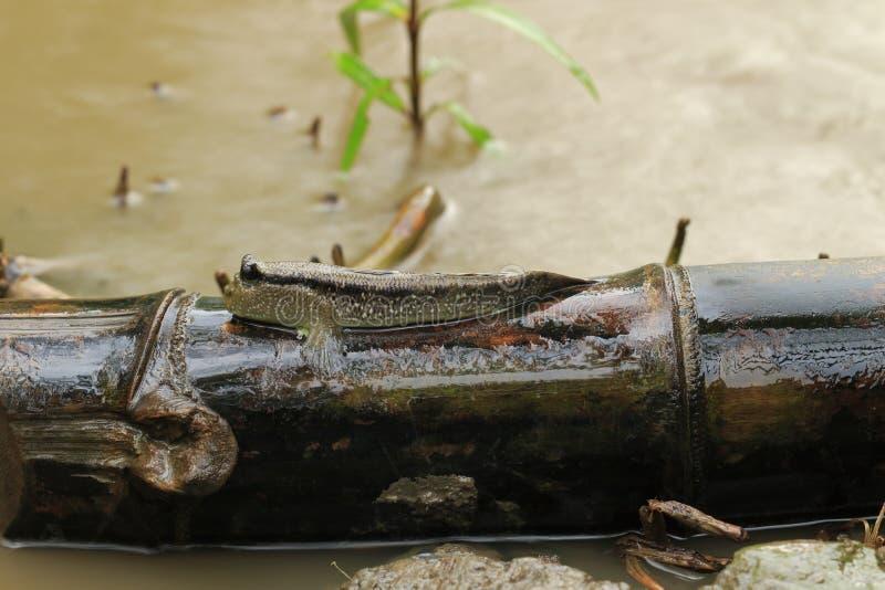 Reuzegoby zwemt op een bamboestok stock afbeelding