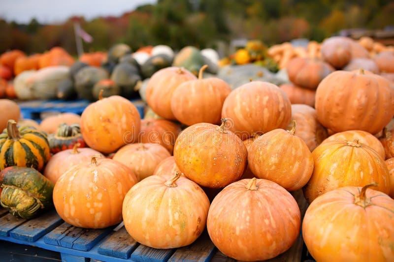 Reuzehoop van verse grote gezonde biopompoenen op landbouwlandbouwbedrijf bij de herfst stock foto