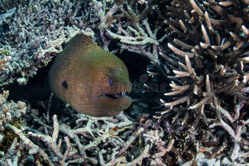 Reuzemoray eel en Koraal stock foto