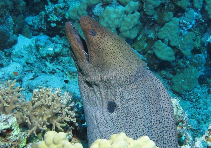 Reuzemoray, Gymnothorax-javanicus in Gota Kebir, St John ertsaders stock afbeeldingen