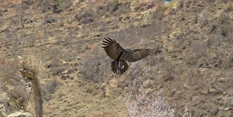 Reuzenkraai (Corvus macrorhynchos) royalty-vrije stock fotografie