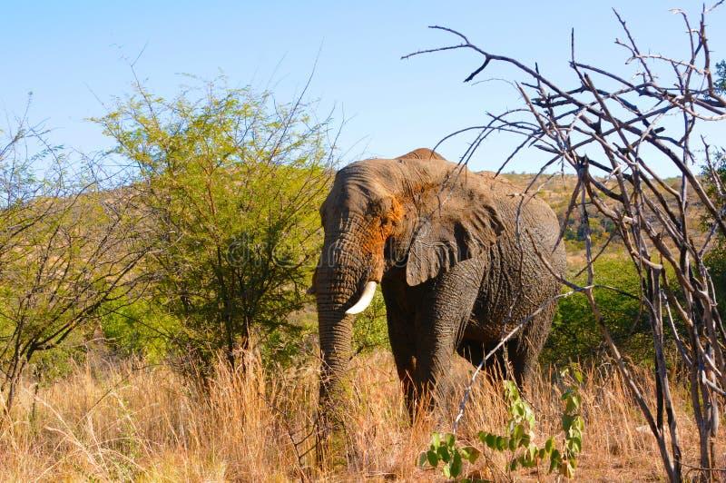 Reuzeolifant in Afrika royalty-vrije stock foto's