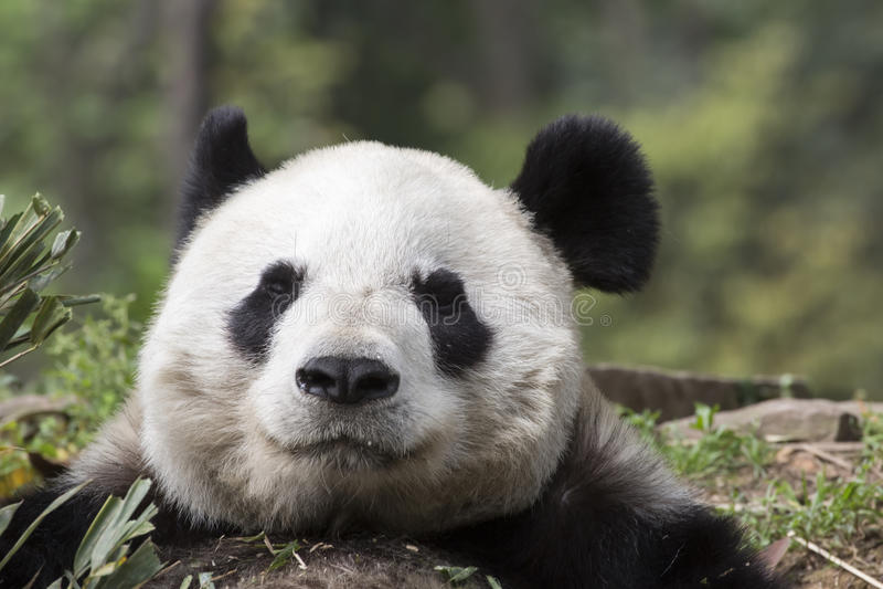 Reuzepanda bear: Opperst Tevredenheidsclose-up stock afbeelding