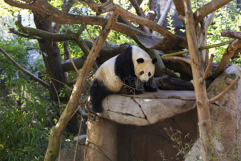 Reuzepanda black en het Wit dragen in Dierlijke Habitatbijlage stock foto's