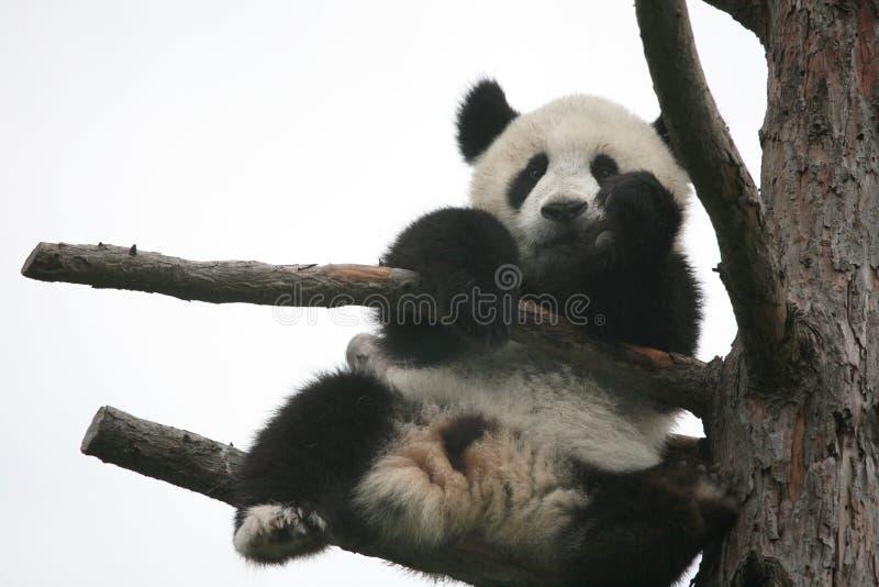 Reuzepanda cub stock afbeelding