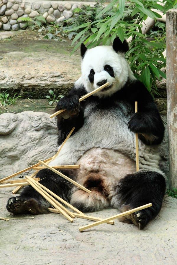 Reuzepanda die bamboe in Chiang Mai-dierentuin, Chiangmai-Provincie eten, royalty-vrije stock afbeelding