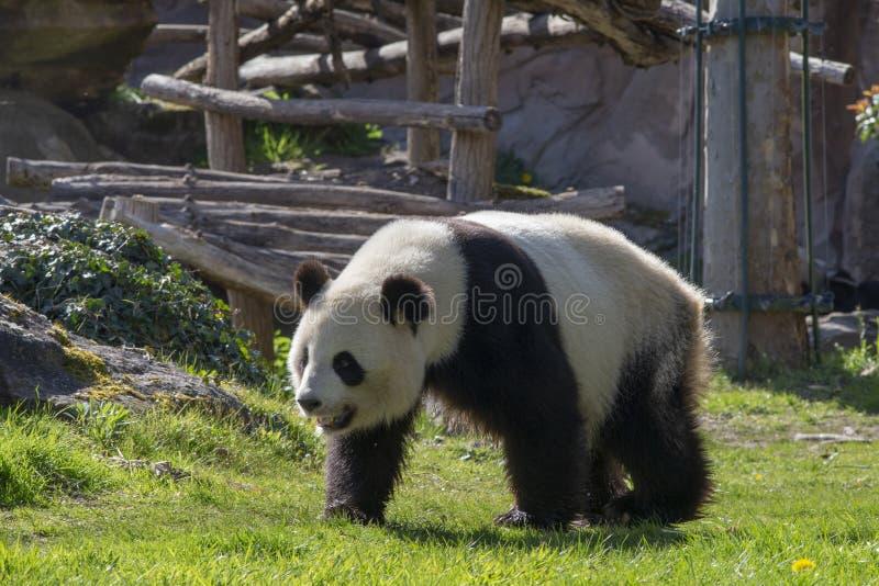 Reuzepanda die op gras lopen stock afbeeldingen