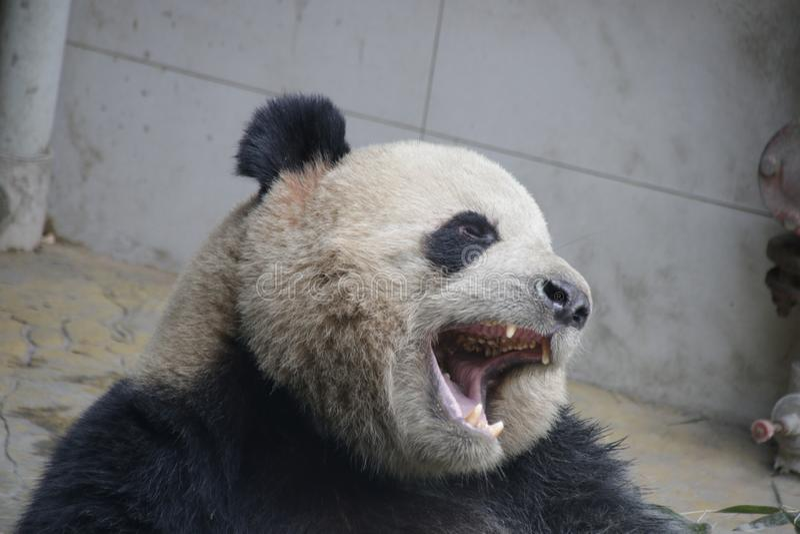 Reuzepanda, Panda Valley, China stock afbeeldingen