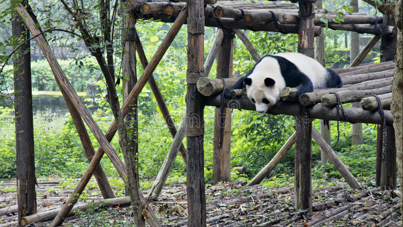 Reuzepanda in Sichuan, China royalty-vrije stock foto