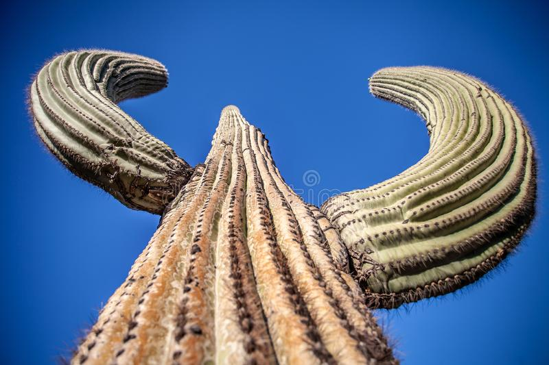 Reuzesaguaro-Cactus - Horizontaal Close-up royalty-vrije stock afbeelding