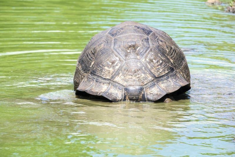 Reuzesanta cruz tortoise sitting in een Vijver stock afbeeldingen