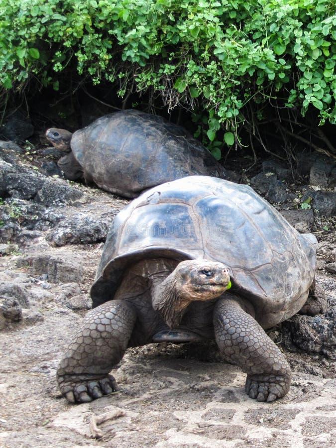 Reuzeschildpadden bij het Eiland van de Galapagos stock foto's