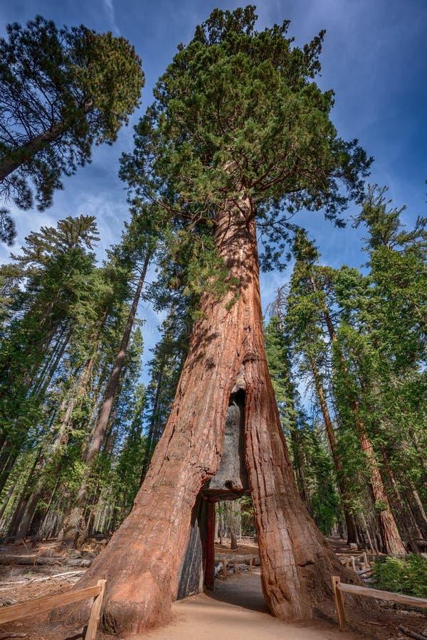 Reuzesequoia dichtbij het Nationale Park van Yosemite in Californië stock afbeeldingen