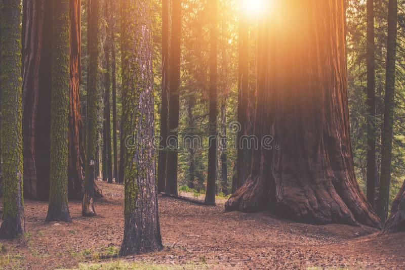 Reuzesequoia Forest Place stock afbeelding