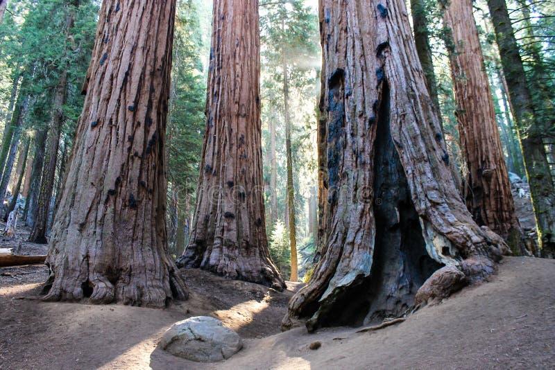 Reuzesequoia's, Sequoia Nationaal Park stock afbeelding