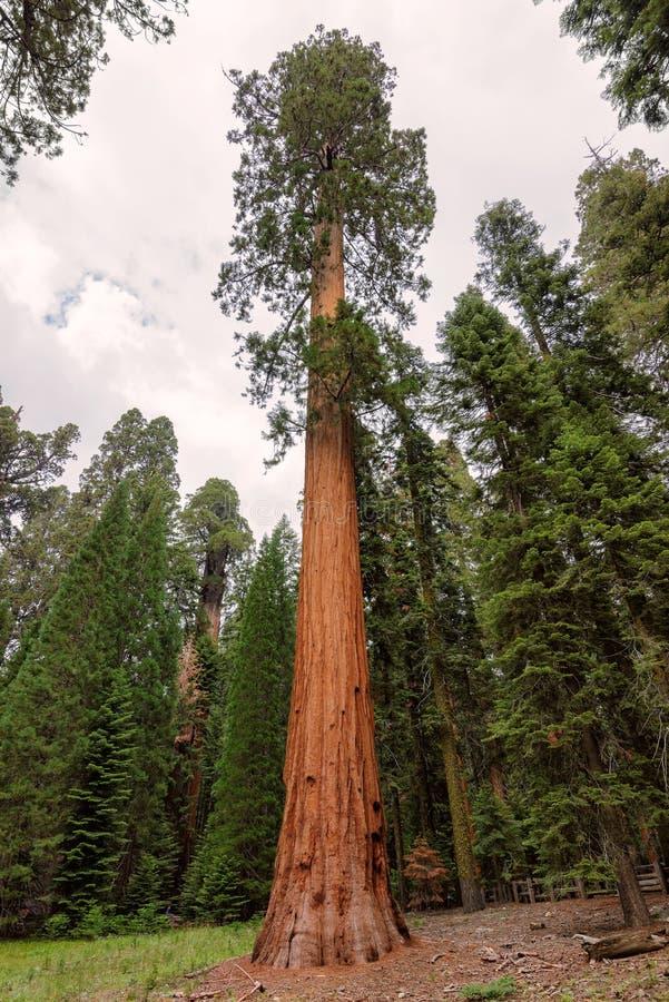 Reuzesequoia in Sequoia Nationaal Park royalty-vrije stock fotografie