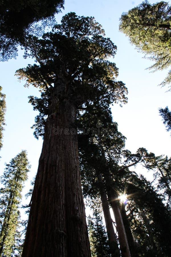 Reuzesequoia, Sequoia Nationaal Park royalty-vrije stock afbeelding
