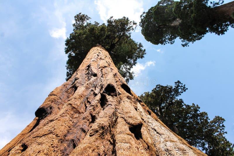 Reuzesequoia, Sequoia Nationaal Park stock afbeeldingen