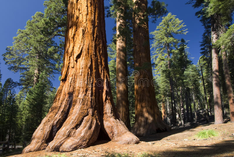 Reuzesequoiaboom, Mariposa-Bosje, het Nationale Park van Yosemite, Californië, de V.S. royalty-vrije stock foto