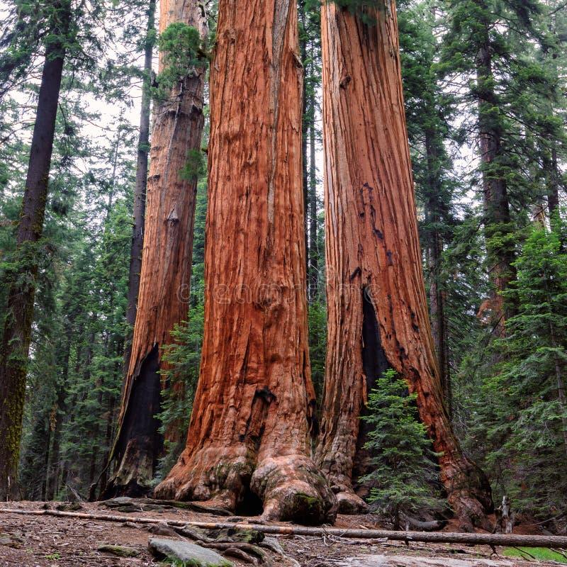 Reuzesequoiabos in Sequoia Nationaal Park stock afbeeldingen