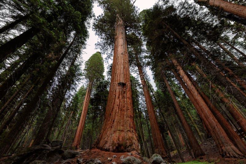 Reuzesequoiabos in Sequoia Nationaal Park, Californië stock fotografie
