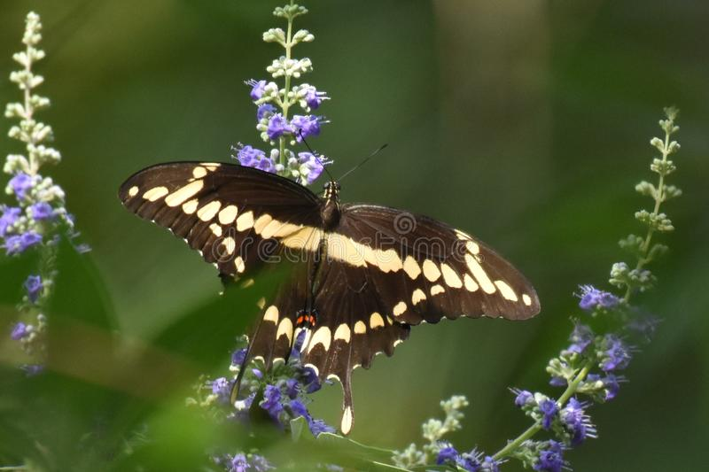 Reuzeswallowtail op Purpere Vitex stock foto