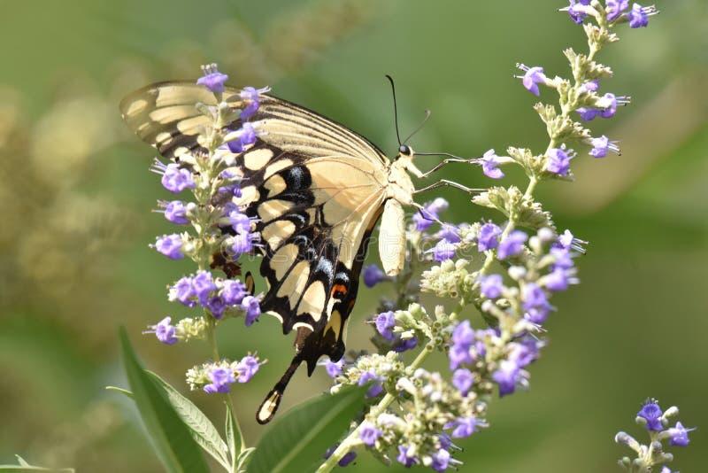 Reuzeswallowtail-Vlinder in een mooie tuin stock foto