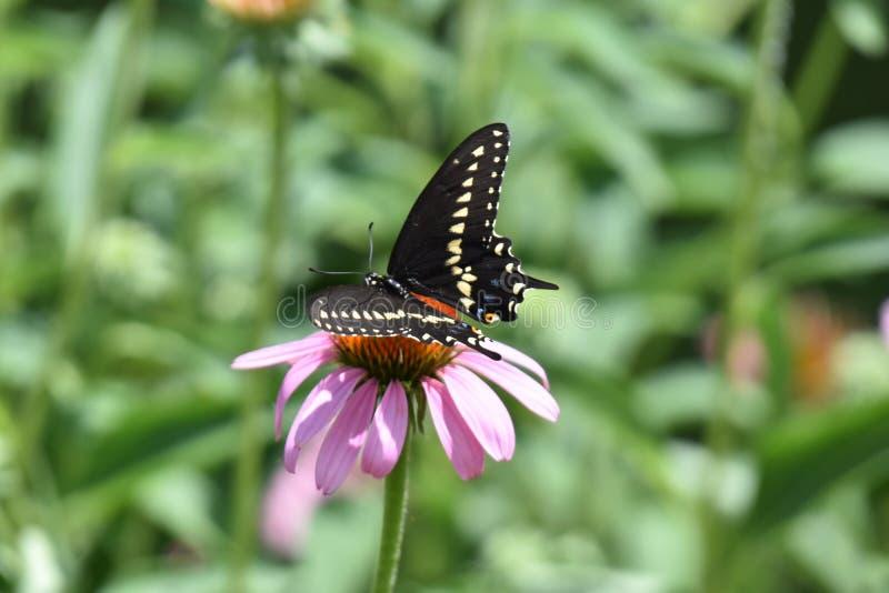 Reuzeswallowtail-Vlinder in een mooie tuin royalty-vrije stock foto