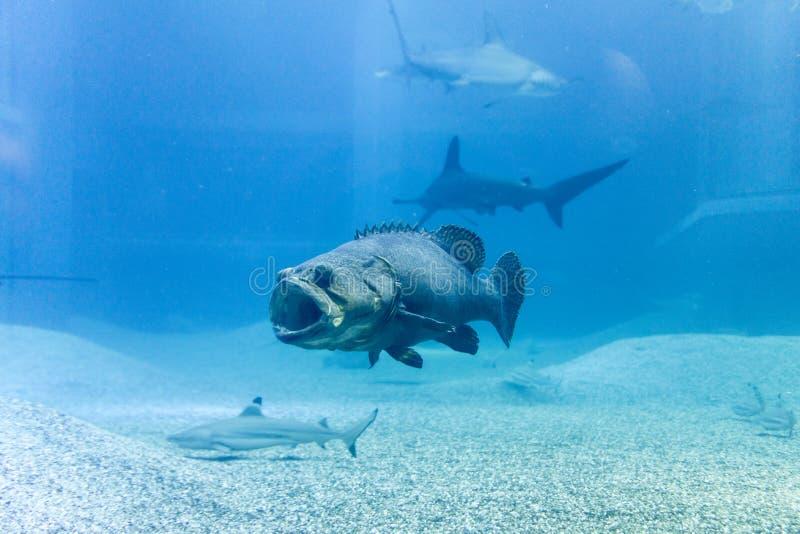 Reuzetandbaars met haai in blauwe overzees stock afbeelding