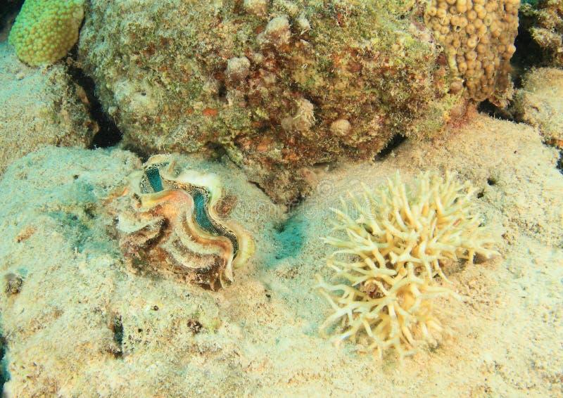 Reuzetweekleppig schelpdier door staghornkoraal royalty-vrije stock afbeeldingen