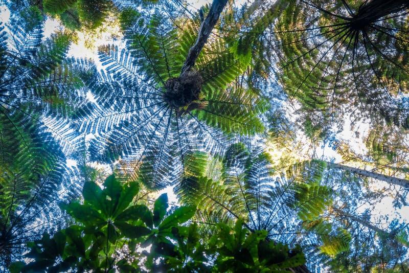 Reuzevarens in Californische sequoiabos, Rotorua, Nieuw Zeeland stock foto