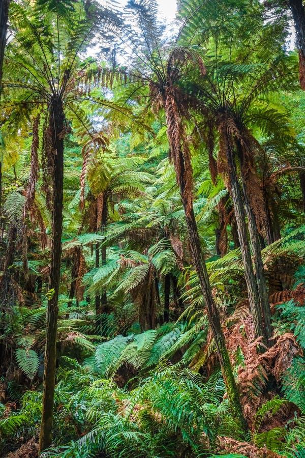 Reuzevarens in Californische sequoiabos, Rotorua, Nieuw Zeeland stock foto's