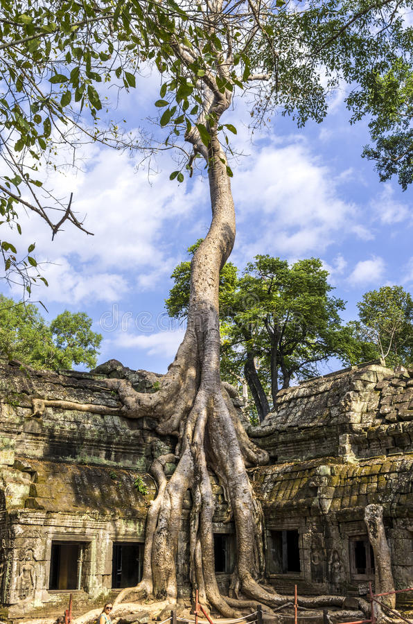 Reuzewortels van Opgesprongen boom stock afbeelding