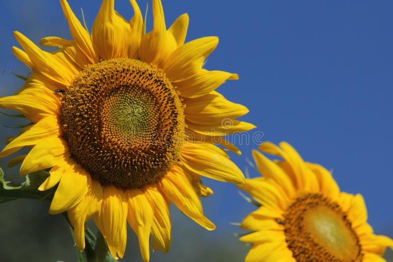 Reuzezonnebloemen stock afbeelding