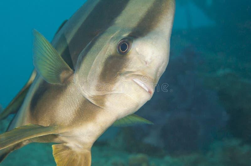 rev för batfishkoralllongfin royaltyfria foton