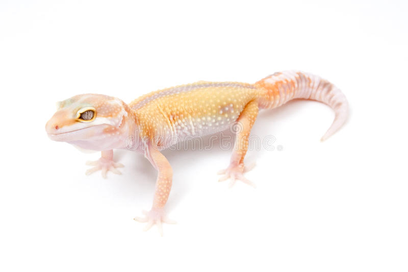 Rev Listra Leopardo Gecko do albino de Tremper do Tangerine imagens de stock royalty free
