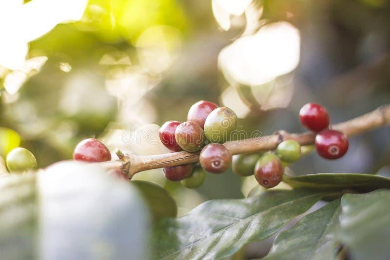 Rev sönder kaffebönor i trädgården royaltyfria bilder