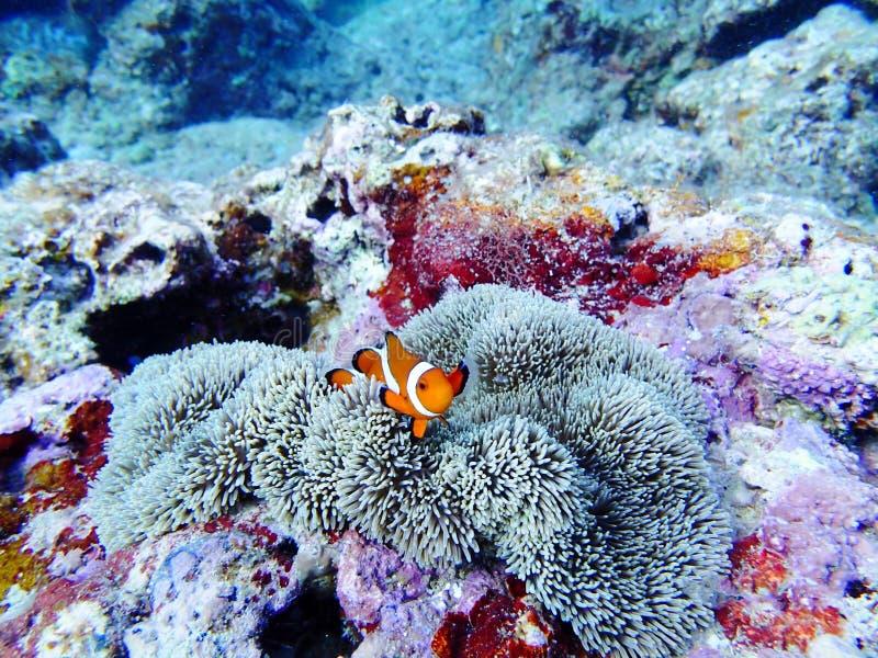 Reva Nemo för havet för den korallOkinawa ön clownfish royaltyfri bild