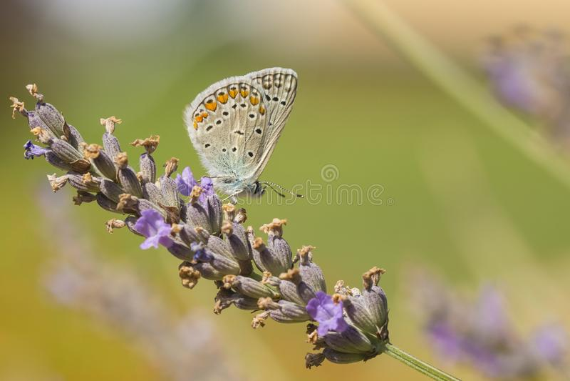 Reverdin`s blue butterfly, Plebejus argyrognomon, stock image